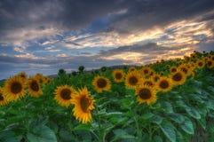 Солнцецветы с заходом солнца Стоковые Изображения RF