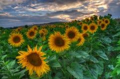 Солнцецветы с заходом солнца Стоковые Фотографии RF