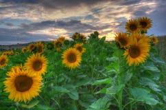 Солнцецветы с заходом солнца Стоковое Изображение