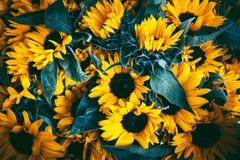 Солнцецветы с темной предпосылкой листьев Стоковые Фото