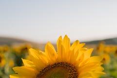 Солнцецветы текстура и предпосылка для дизайнеров Взгляд макроса солнцецвета в цветени Органическая и естественная предпосылка стоковое изображение rf