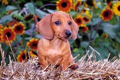 солнцецветы щенка собаки dachshund Стоковое фото RF