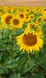 Sunflowers Стоковая Фотография RF