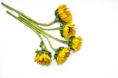 Солнцецветы Стоковая Фотография