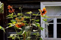 Солнцецветы. Стоковое Изображение RF