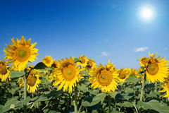 солнцецветы стоковые изображения rf