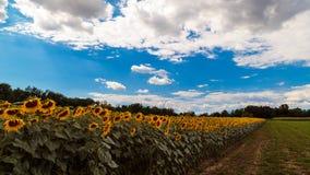 Солнцецветы field около Удине, Friuli Venezia-Giulia, Италии стоковые изображения