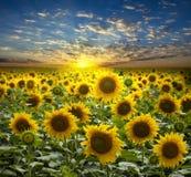 солнцецветы flowerings поля Стоковые Изображения