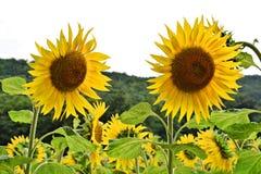 Солнцецветы HDR на поле стоковое фото