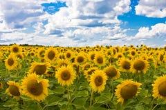 солнцецветы w неба пола предпосылки стоковая фотография