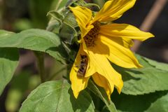 Солнцецвет в включенной пчеле солнца Стоковая Фотография RF