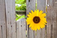 Солнцецвет в деревянной загородке Стоковые Изображения RF