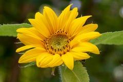 Солнцецвет в зацветать солнца Стоковая Фотография RF