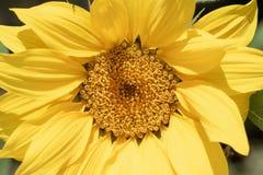 Солнцецвет в зацветать солнца Стоковая Фотография
