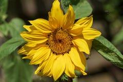Солнцецвет в зацветать солнца Стоковое Изображение RF