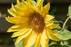 Солнцецвет в зацветать солнца Стоковые Фотографии RF