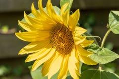 Солнцецвет в зацветать солнца Стоковое Фото