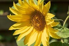 Солнцецвет в зацветать солнца Стоковое Изображение