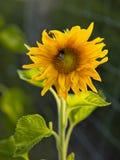 Солнцецвет в органической ферме Стоковые Фотографии RF