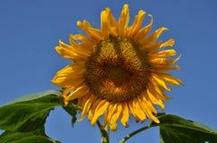 Солнцецвет в поле Стоковое Фото