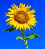 Солнцецвет в Таиланде Стоковое фото RF