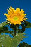 солнцецвет голубого неба стоковые изображения rf