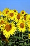 солнцецвет группы Стоковые Изображения RF