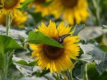Солнцецвет зацветая в полях лета стоковые фотографии rf