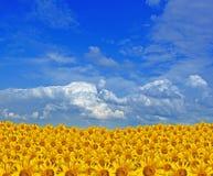 солнцецвет золота поля Стоковые Фото