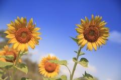 Солнцецвет и голубое небо Стоковые Фотографии RF