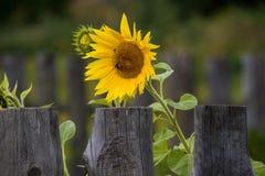 Солнцецвет и загородка стоковые фотографии rf