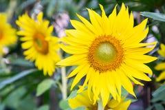 Солнцецвет и зеленая предпосылка лист в поле на солнечном лете или весеннем дне Стоковое Изображение RF