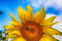 Солнцецвет и пчела Стоковое Изображение RF