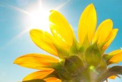 Солнцецвет и солнце с голубым небом Стоковое Фото