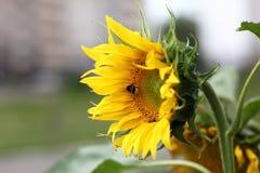 Солнцецвет и шмель Стоковые Фотографии RF