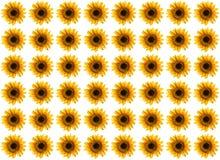 солнцецвет картины Стоковые Фото