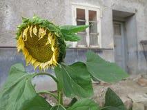 Солнцецвет который смотрит унылым стоковое фото rf