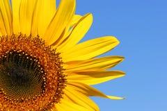 солнцецвет красотки стоковые изображения