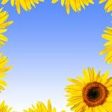 солнцецвет красотки Стоковые Фотографии RF