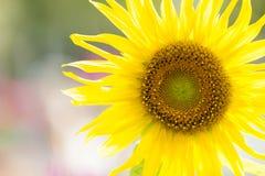 Солнцецвет крупного плана в саде Скопируйте космос для текста Стоковое Изображение