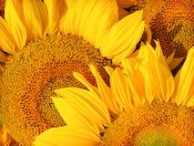 солнцецвет крупного плана Стоковое Изображение