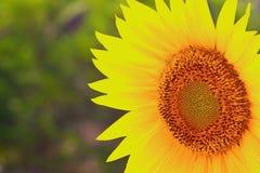 солнцецвет крупного плана Стоковая Фотография RF