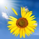 Солнцецвет летания Стоковое Изображение RF