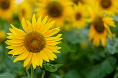 солнцецвет лета поля Стоковое Фото