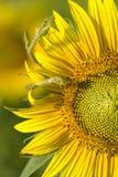 солнцецвет макроса sunlit стоковые фотографии rf