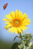 солнцецвет монарха бабочки Стоковые Изображения RF