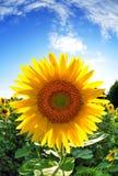 Солнцецвет на голубом небе Стоковое Изображение RF