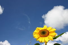 солнцецвет неба стоковые фото
