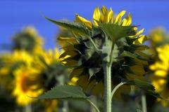Солнцецвет от позади Стоковые Фото