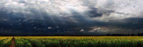солнцецвет панорамы Стоковое Изображение RF